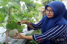 Mahasiswa Unsyiah produksi melon mikoriza