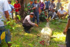 Warga tangkap buaya di Aceh Timur