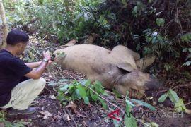 Polisi tangkap pembunuh gajah di Aceh Timur