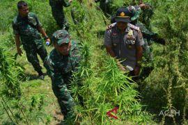 TNI temukan 20 hektare ladang ganja