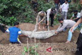Buaya ditangkap di Aceh Timur akhirnya mati