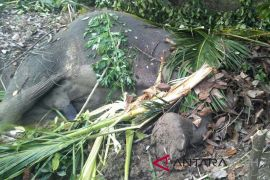 Seekor gajah mati dengan kondisi gading hilang