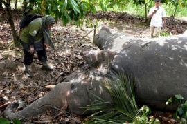 Gajah mati di Aceh Timur