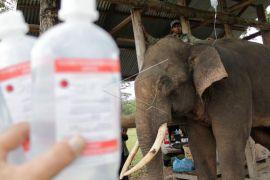 BKSDA Aceh obati gajah terkena jerat