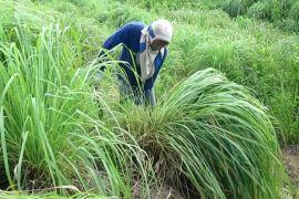 Masyarakat Aceh Selatan mulai senang kembangkan serai wangi