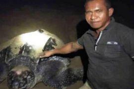 Penyu raksasa ditemukan bertelur di Aceh Utara