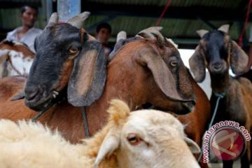 Hewan kurban di Banda Aceh 189 ekor