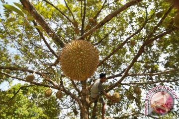 Durian Abdya tembus pasar Medan