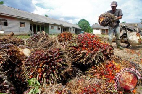 Harga sawit di Aceh Tenggara merosot