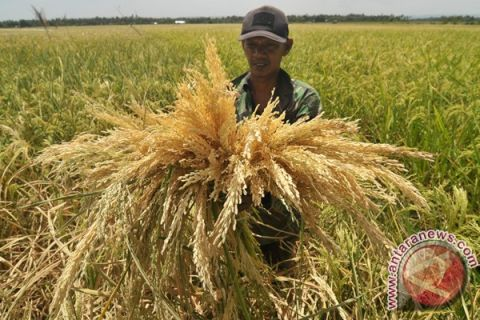 Ratusan hektare padi di Aceh Besar terancam puso