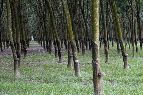 Petani Abdya minta penyuluhan penyadapan pohon karet
