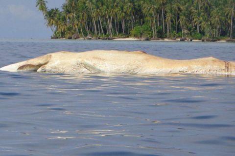 Bangkai ikan paus ditemukan terapung di Pulau Banyak