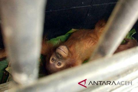 Orangutan terluka dibawa ke Sumut