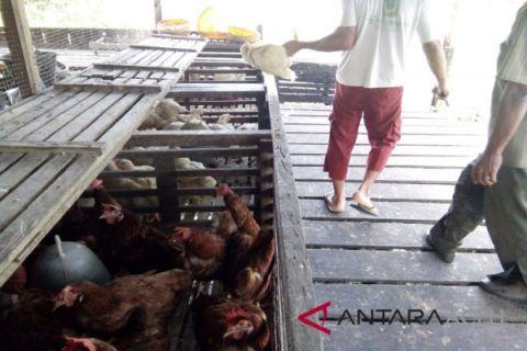 Harga ayam di Lhokseumawe turun