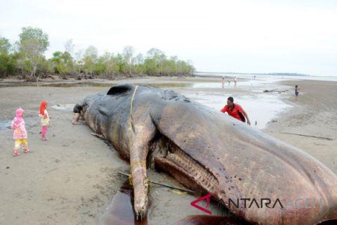 Bangkai paus dibiarkan membusuk di Aceh Timur