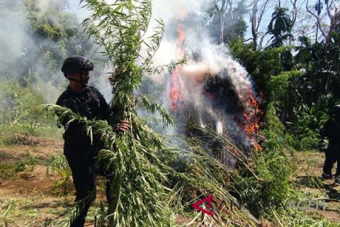 Polisi musnahkan ladang ganja di pedalaman Aceh Utara