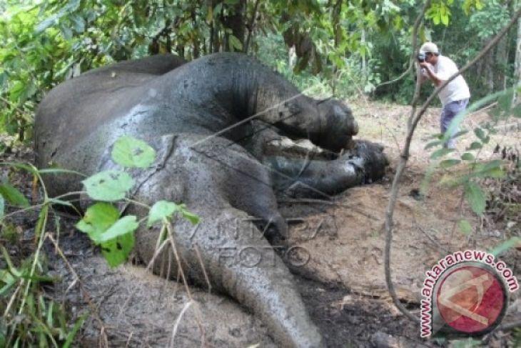 Seekor gajah ditemukan mati di Aceh Jaya