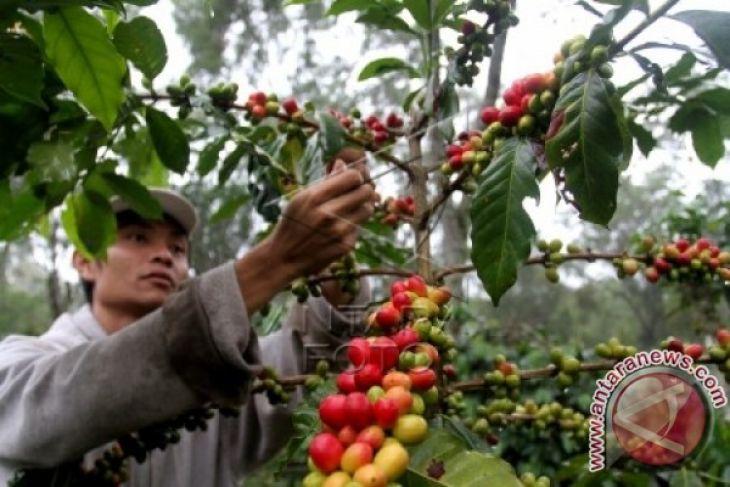 Produksi kopi Aceh Tengah naik