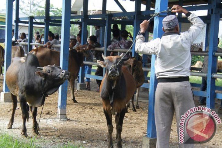 Ternak sapi di Aceh Utara didominasi jenis lokal