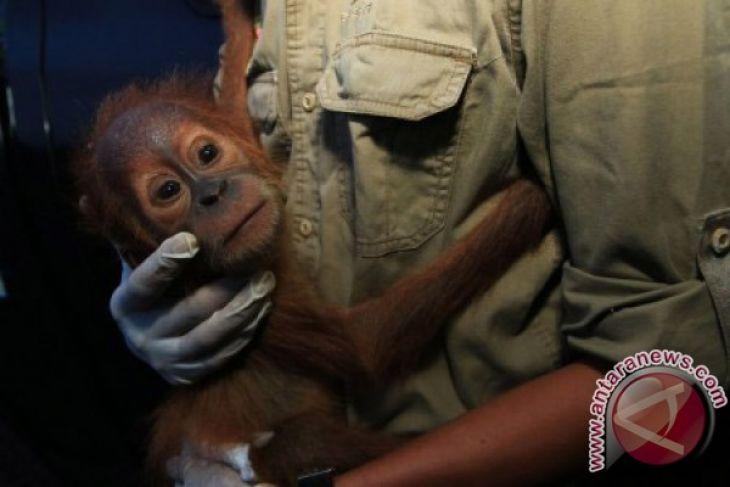 BKSDA evakuasi orangutan dari anggota Brimob