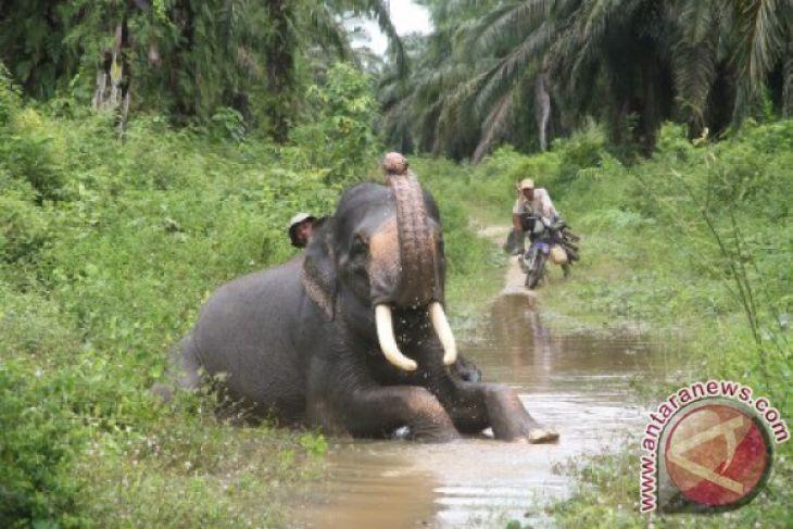 Dua gajah mati tersengat listrik