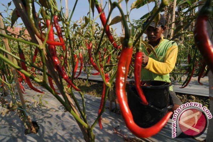 BI Lhokseumawe bantu budidaya cabai merah