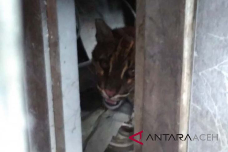 Kucing emas masuk rumah warga Aceh Barat