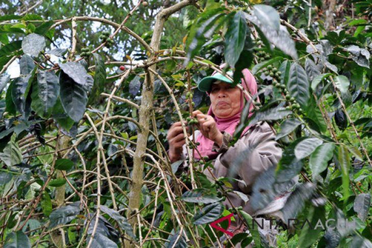 Aceh Tengah targetkan produksi kopi 800 kilogram