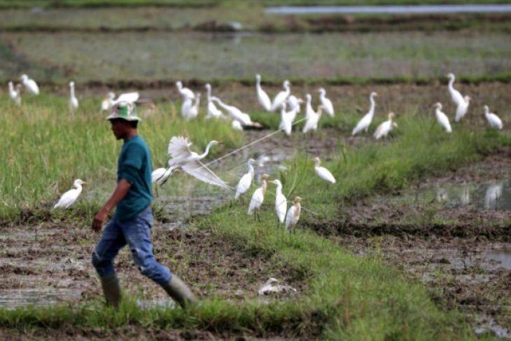 Burung Kuntul bantu petani