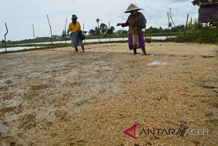 Petani Abdya tanam padi di lahan sawit