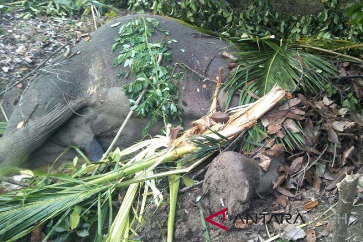 Gajah Sumatera ditemukan mati di Aceh Timur