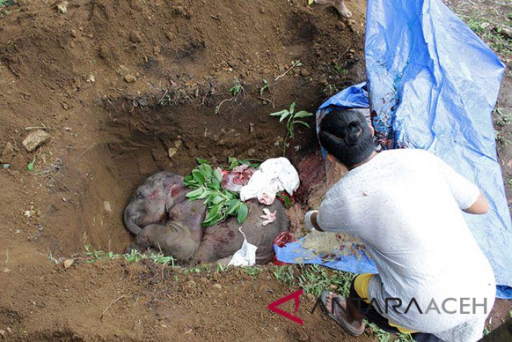 Anak gajah yang terkena jerat akhirnya mati