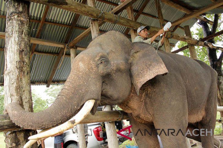 Gajah terlatih sakit