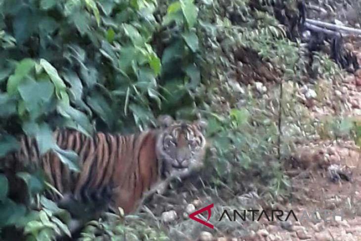 Tiga harimau Sumatra turun ke jalan desa