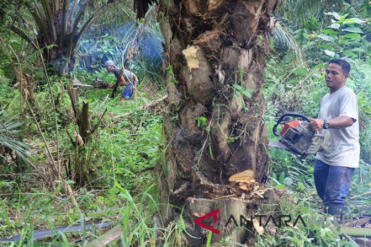 Belasan hektare pohon sawit di hutan lindung dimusnahkan