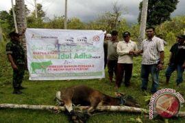 TBPB dan MSP Salurkan Bantuan Hewan Kurban ke 10 Desa di Halsel