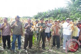North Halmahera developed to be corn production center