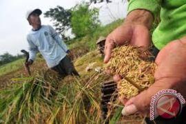 Kodim dukung tingkatkan produksi padi di Halut
