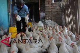 Daging ayam beku di Ambon masih mahal