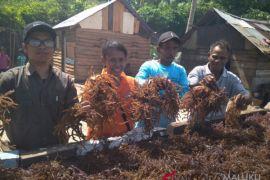 Petani rumput laut Lermatang butuh bantuan pemerintah