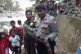 BKSDA Maluku lepasliarkan buaya muara ke Sapalewa