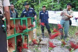 BKSDA Maluku lepasliarkan burung paruh bengkok
