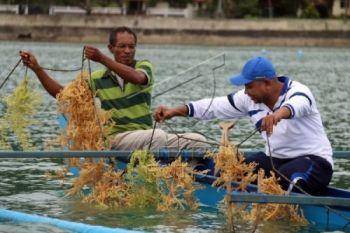 Plt. Gubernur Malut promosikan potensi rumput laut