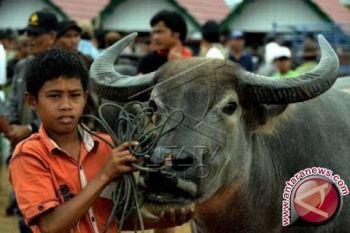 Pemprov Malut tidak alokasikan bantuan hewan kurban