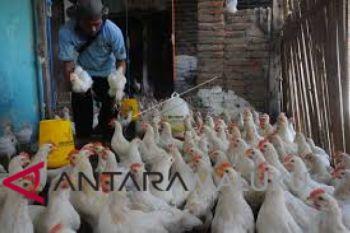 Pemprov Malut diminta dorong usaha peternakan ayam
