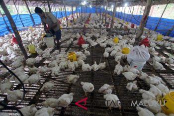 Peternak ayam di Malut harapkan industri pakan