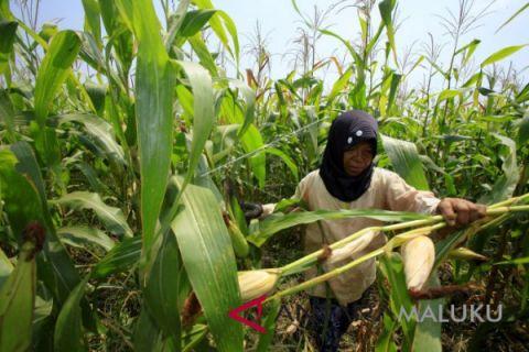 Petani Maluku Utara khawatirkan turunnya harga jagung