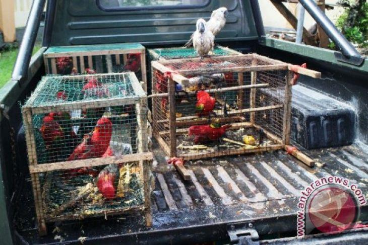BKSDA Maluku lepaskan puluhan burung di Sawai