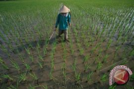 Korem Bangka Buka 4.200 Hektare Lahan Sawah
