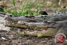 Warga Khawatir Muncul Buaya di Sungai Mancung